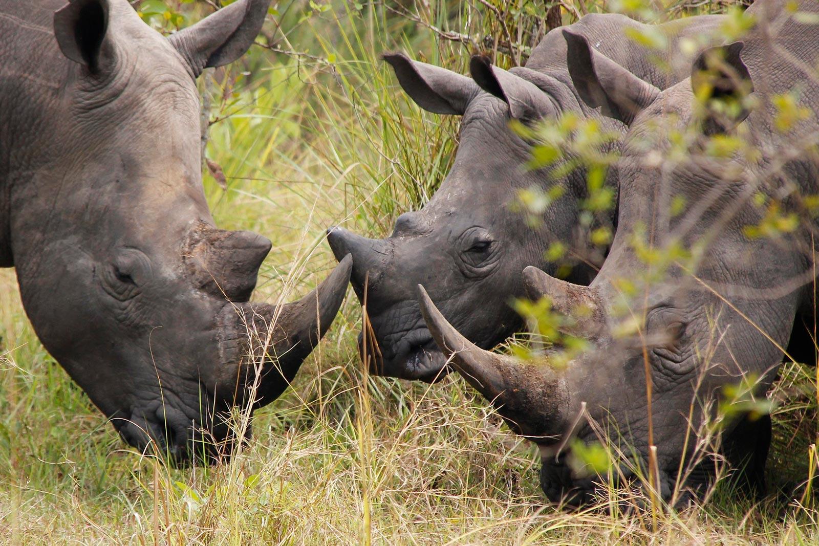 White Rhinoceros uganda