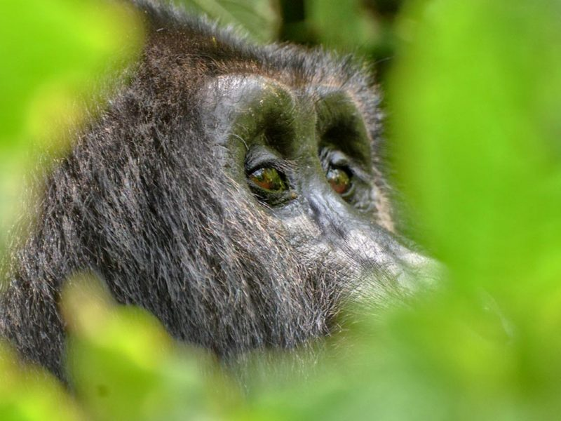 Gorilla Tours & African Safaris in Uganda