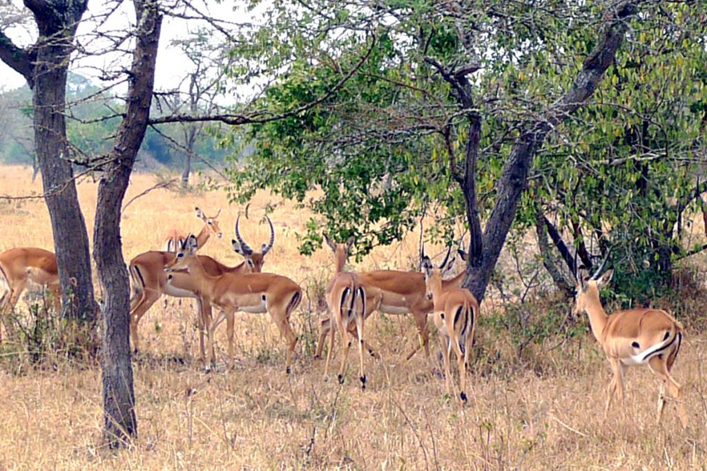 Impala in Lake Mburo NP