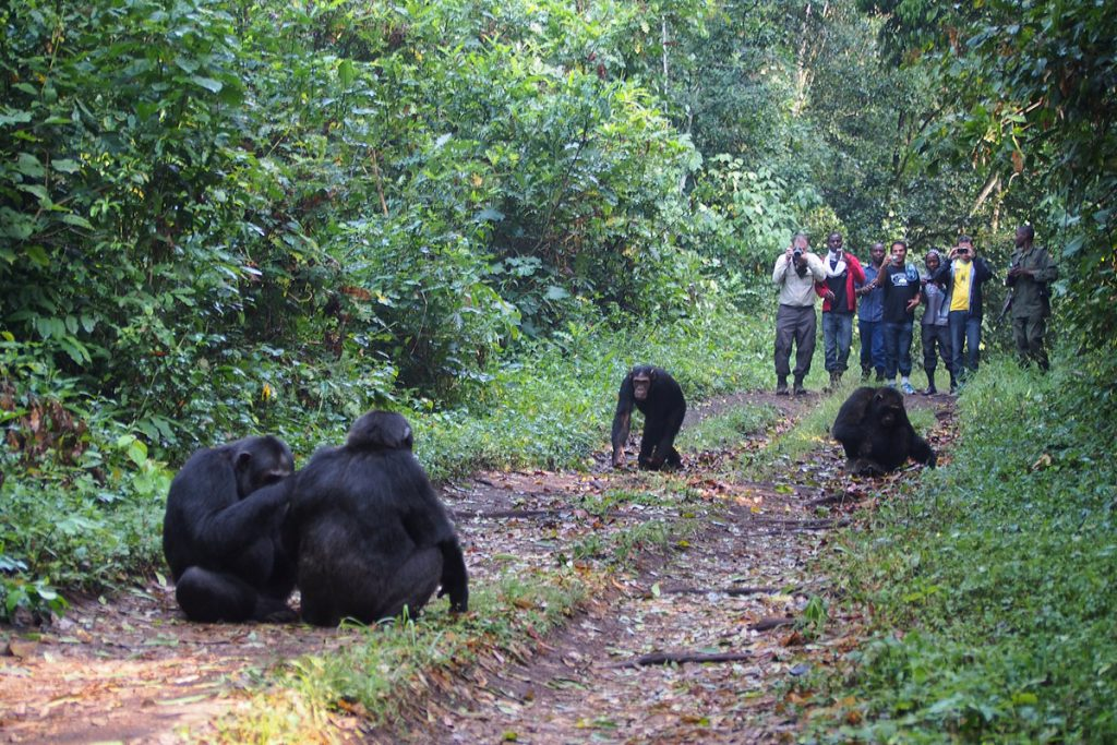 Kibale Forest guided chimpanzee tracking excursion