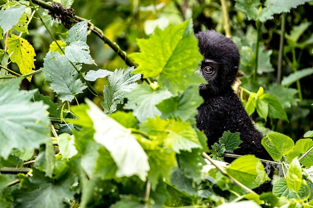 Bwindi Impenetrable National Park a famous destination in uganda