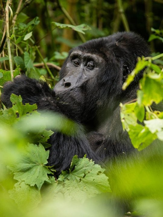 Pearl of Africa, Uganda Travel, Gorilla Trekking and Safari Planning Guide