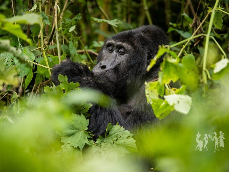 Gorilla tours & Africa safari vacations in Uganda and beyond!