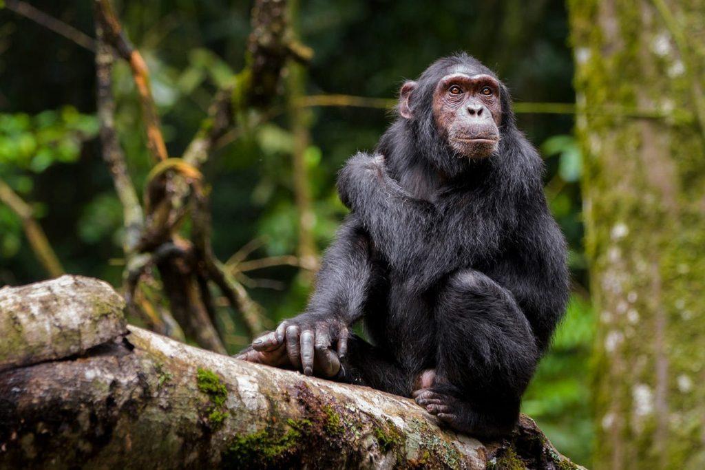 Common chimpanzee tracking in Kibale Forest; My Uganda Safari Experience