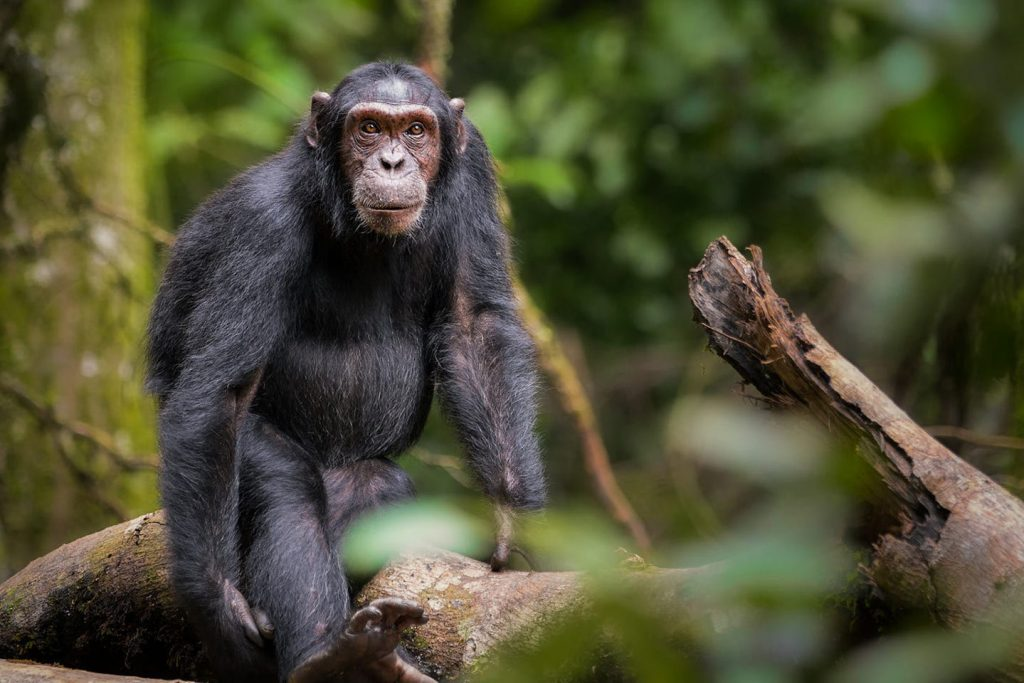 Chimpanzee tracking in kibale forest on Uganda's big 5 animals list