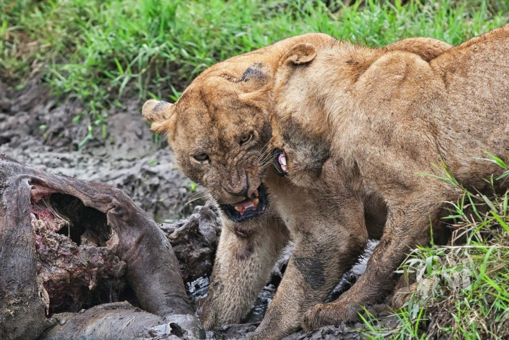 Wildlife game drives in Kidepo Valley