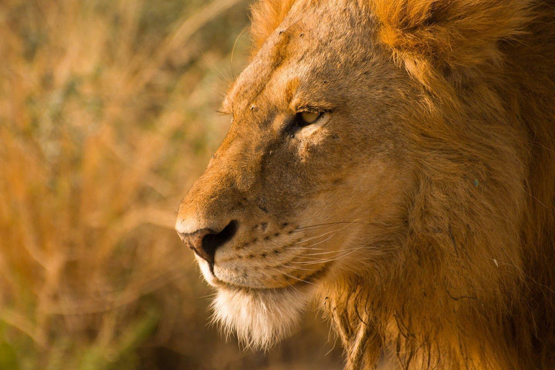 lions in Murchison Falls