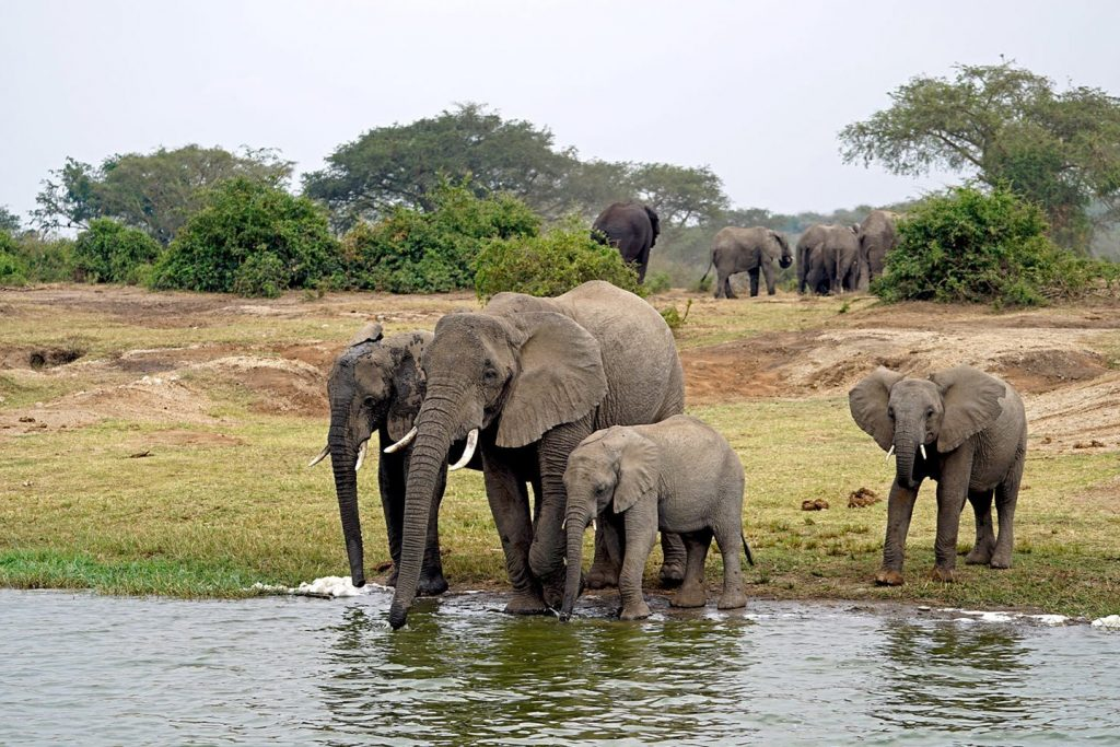 African Elephants at queen elizabeth National Park's Kazinga Channel the big animals found in Uganda to see on safari.