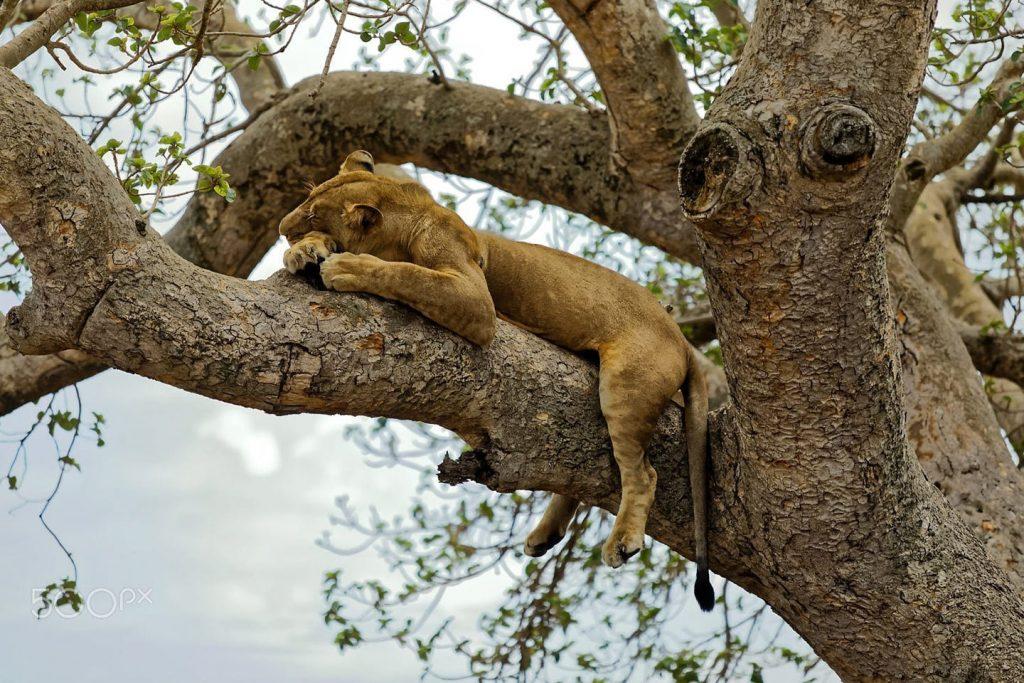 Tree climbing Lions sleeps the late morning off in Ishasha Sector