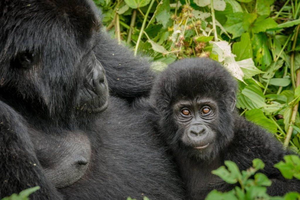 Mother and baby, gorilla trekking in uganda; my uanda safari experience