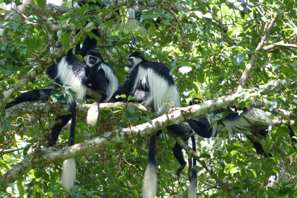 The Black and White Colobus Monkeys decorate the Kibale tree-tops