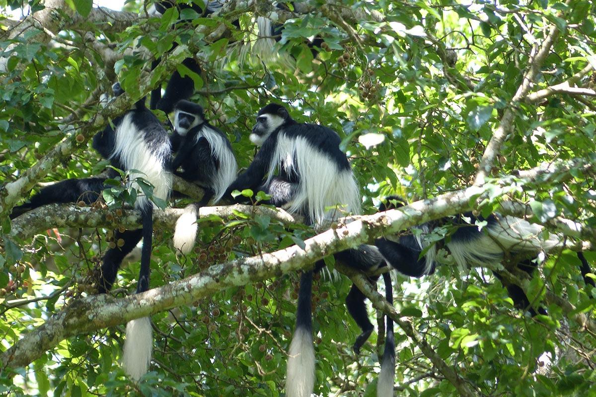Black-and-white Colobus Monkey Uganda