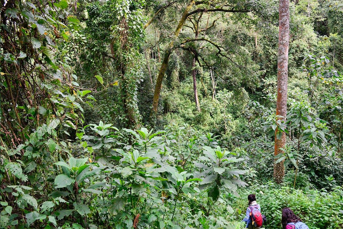 the gorilla trekking experience Deep in the bwindi jungle in Uganda