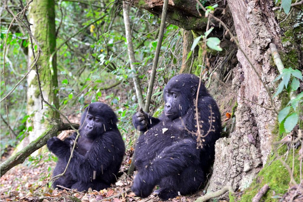 All about the mountain gorillas and where to find them