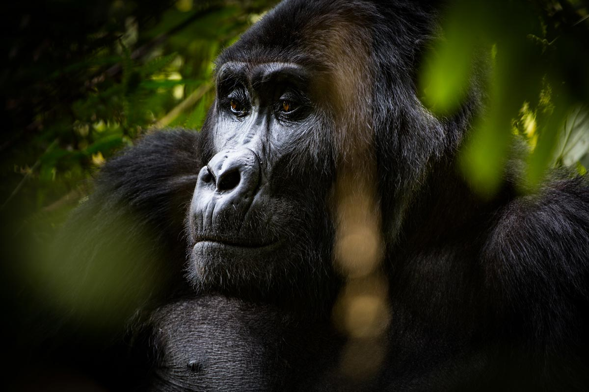 is the gorilla trekking experience worth it? Mother gorillas face.