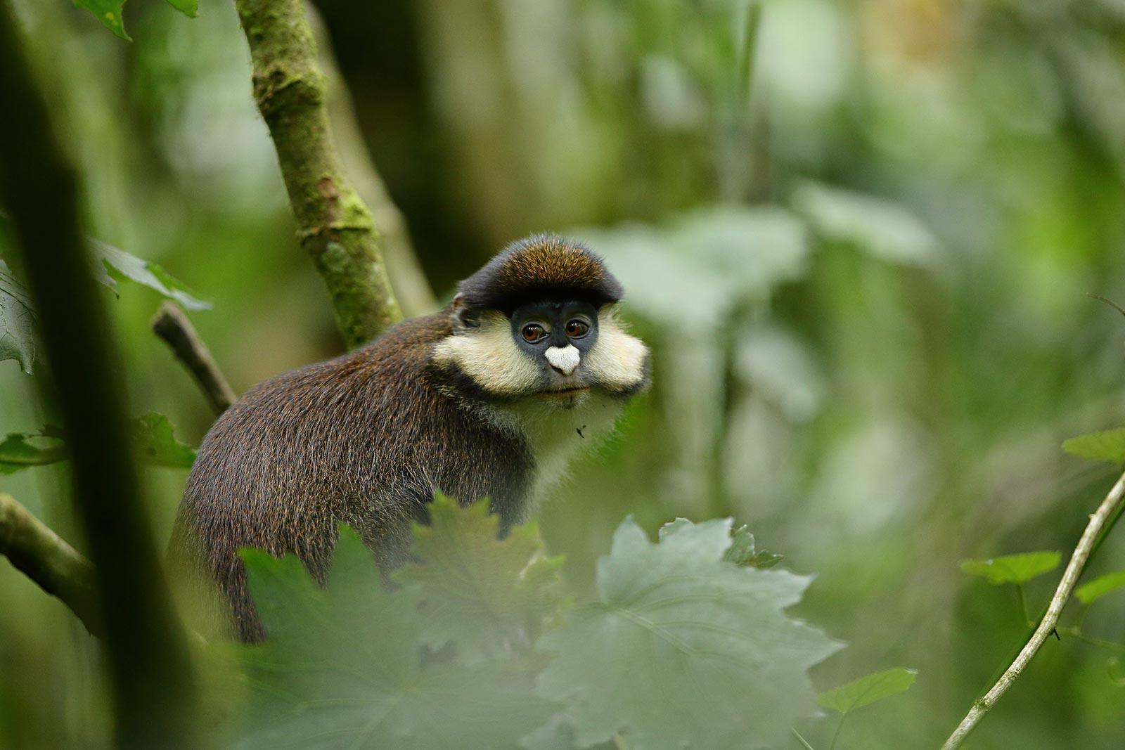 red-tailed monkey uganda; Uganda safari photography tips