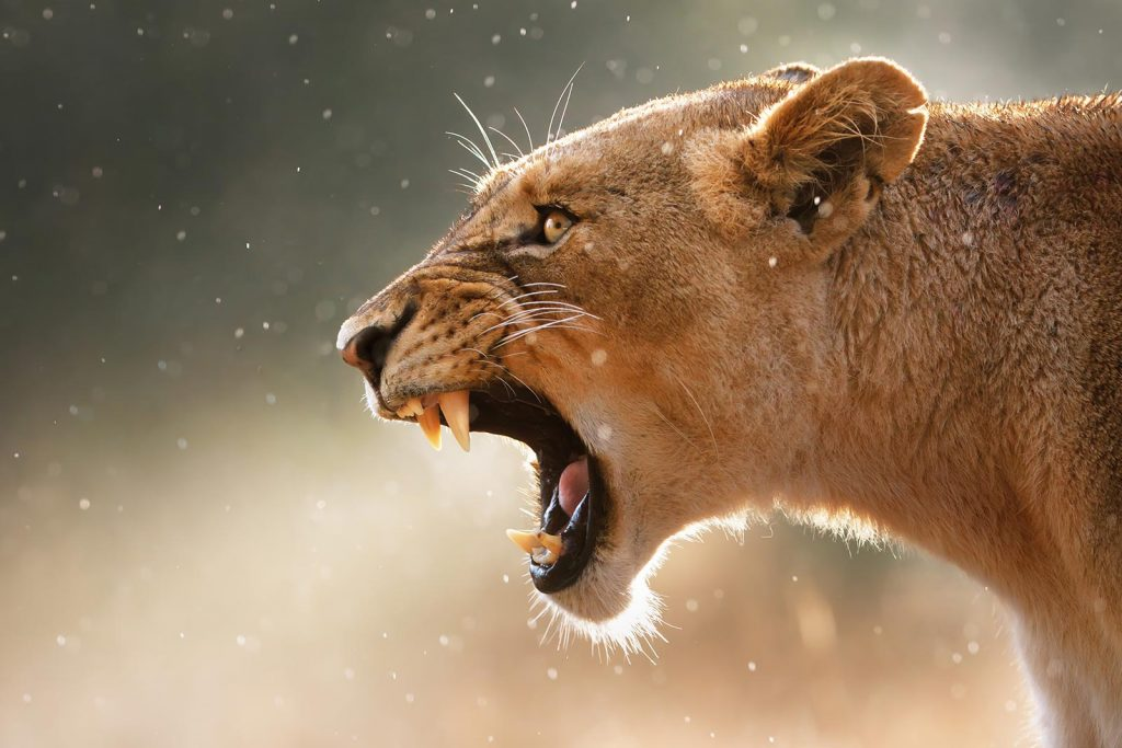 African Lion one of Uganda's Big five animals on safari