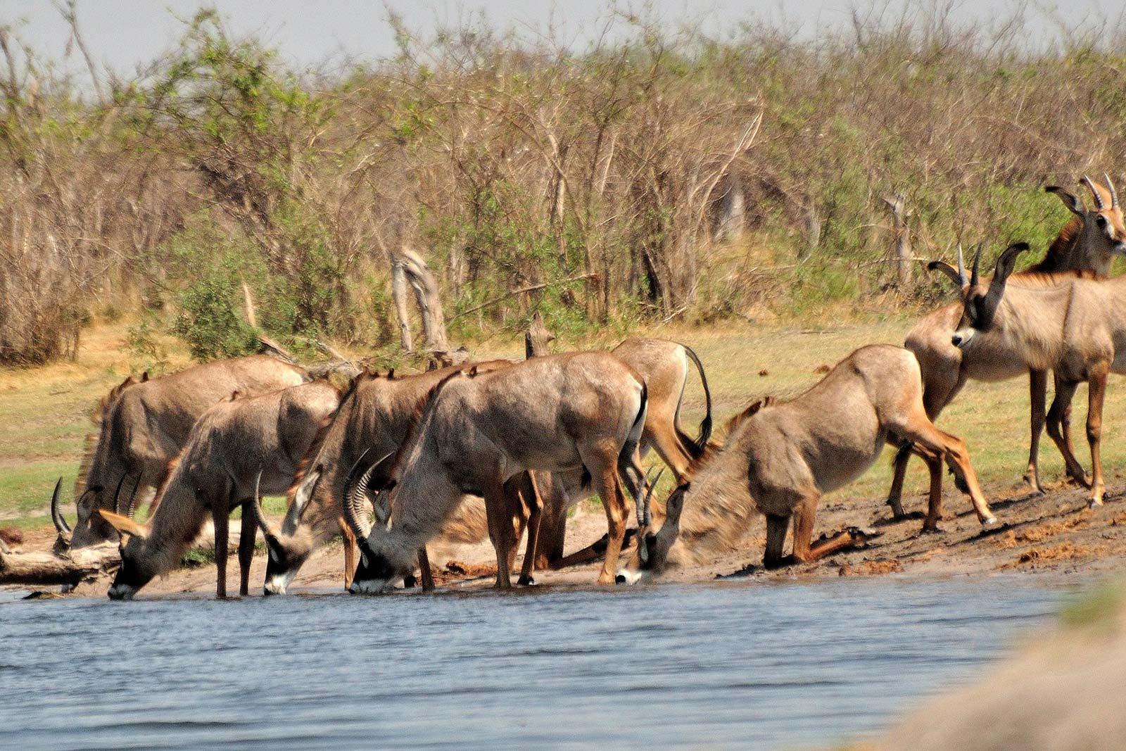 Roan Antelope in Uganda