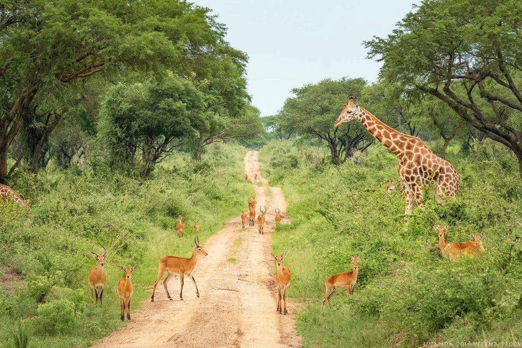 Africa safari melee of antelopes and giraffes