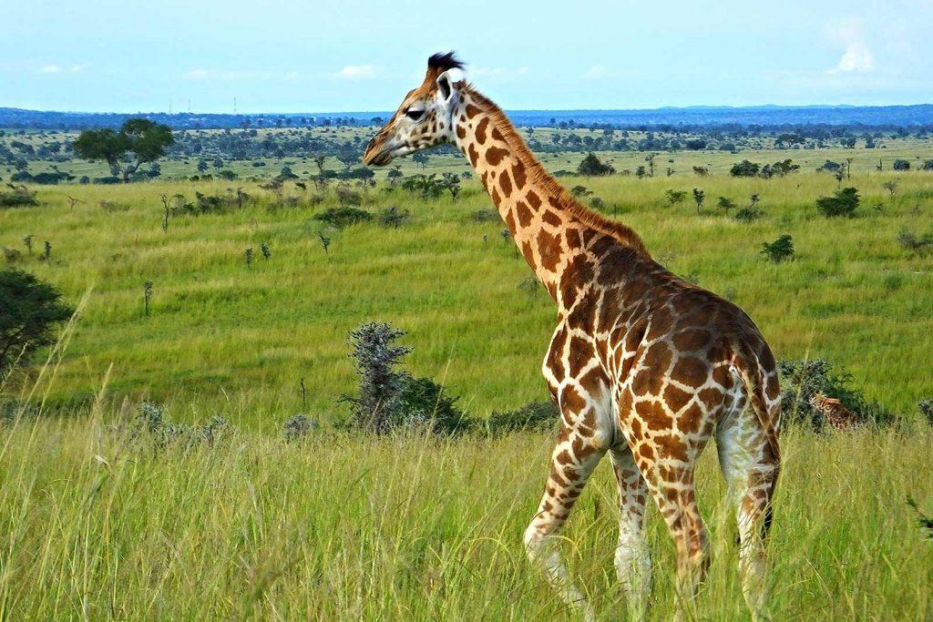 Rothschild Giraffe in Uganda - The Jagged Rwenzori Mountains Embrace the Skies of Western Uganda to Kibale