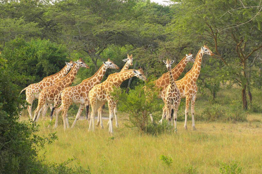 Rothschild's Giraffe, Northern giraffe, rothschild's giraffe in Uganda
