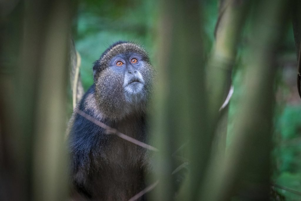 golden monkey habituation experience in Uganda