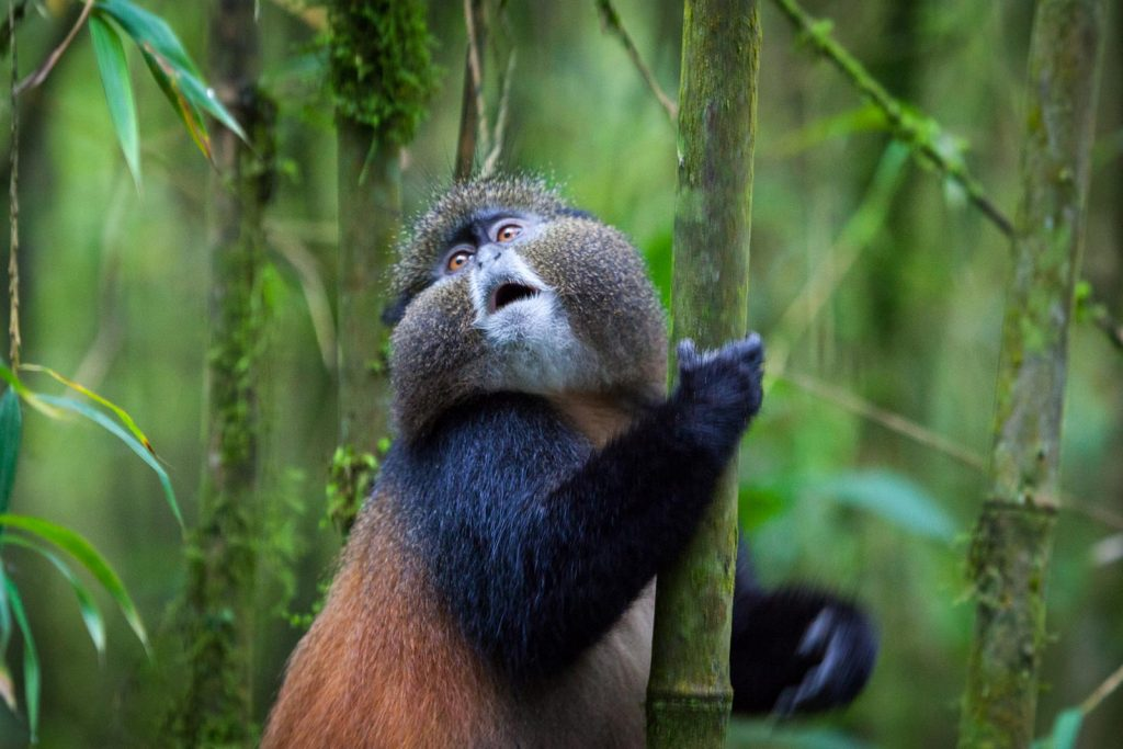 golden monkey habituation experience safari in Uganda