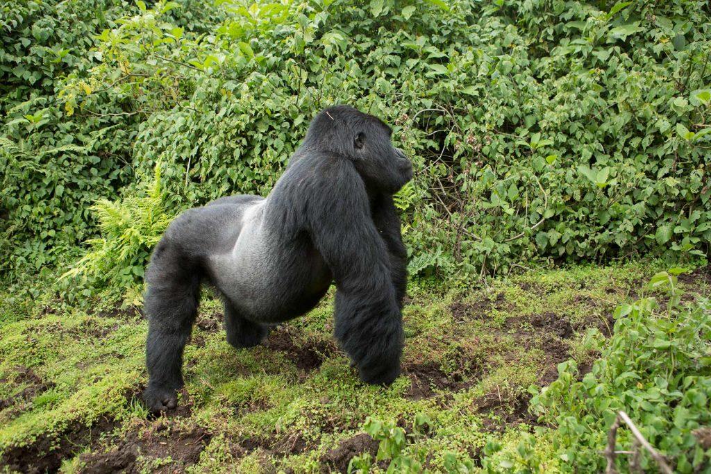 Silverback Dominant Male Mountain Gorilla in Bwindi Impenetrable NP.