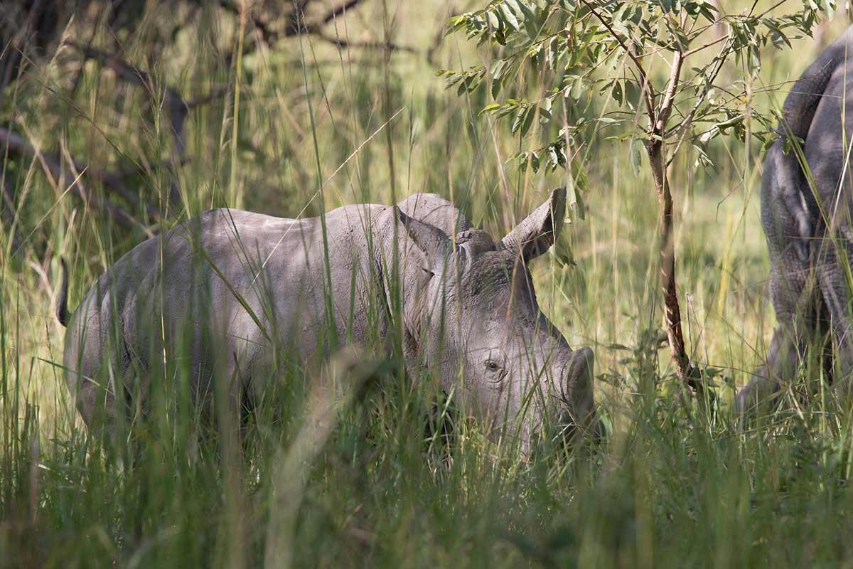white rhino communication