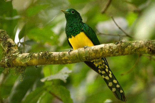African emerald cuckoo (Chrysococcyx cupreus)