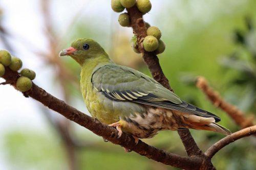 African green pigeon (Treron calva)