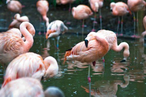 Flamingoes (Phoenicopterus spp)