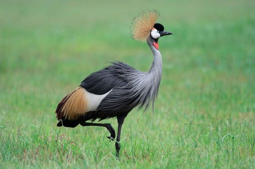 Grey crowned crane or Crested Crane (Balearica regulorum): Basic Facts About Uganda Every Traveller Should Know.
