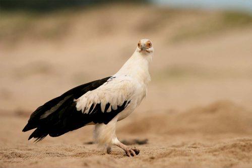 Palmnut vulture (Gypohierax angolensis)