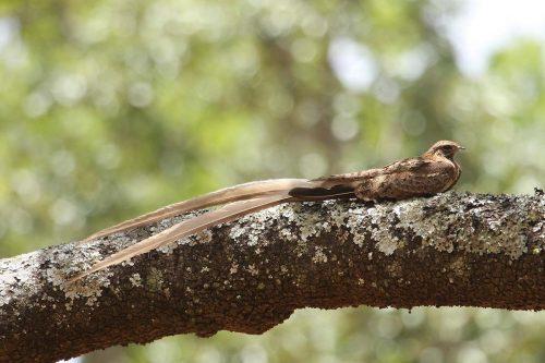 Pennant Standard winged nightjars (Macrodipteryx spp)