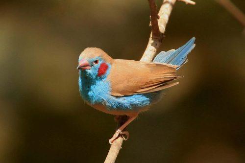 Red-cheeked cordon-bleu (Llraeginthus bengalus)