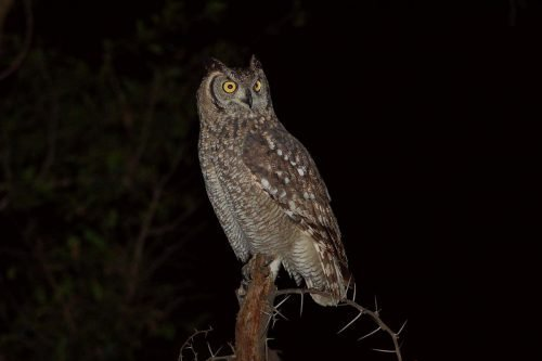 Verreaux's eagle-owl (Bubo lacteus)