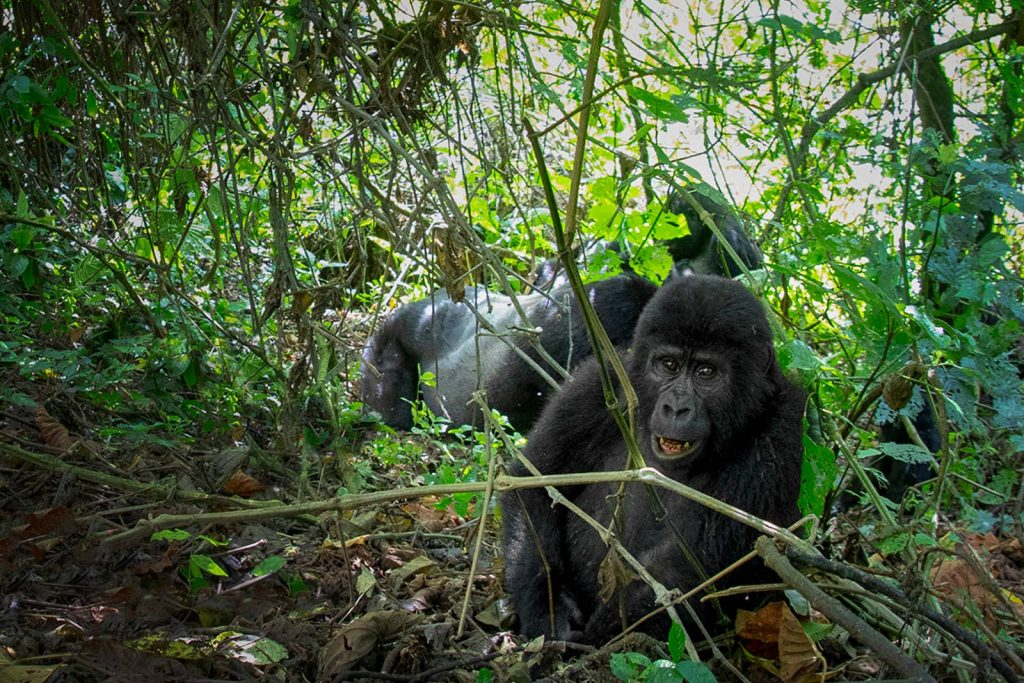 Seventh Day: The Double Gorilla Trekking Experience With A Different Troop