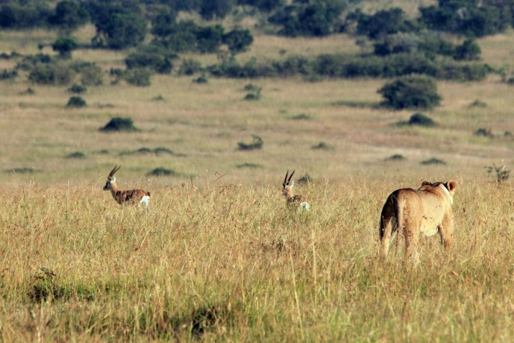 A morning live hunt on the savanna plains