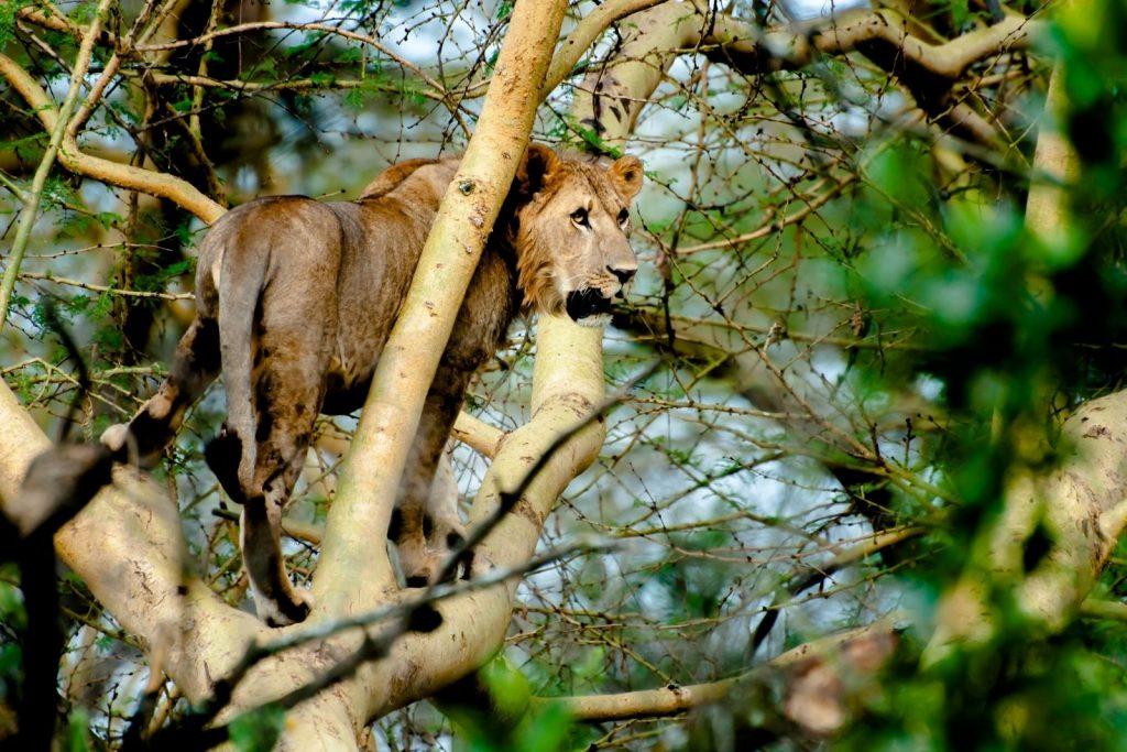 Tree Climbing Lions in Ishasha Sector on Uganda's big 5 animals list