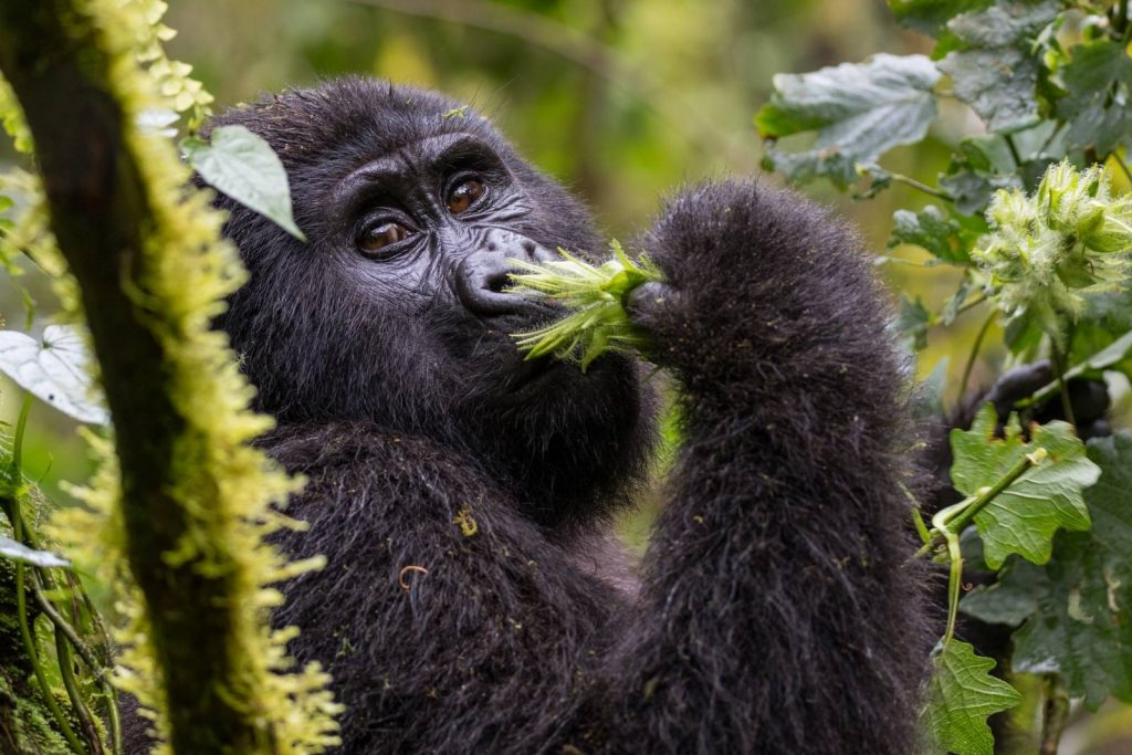 Gorilla Trekking in Bwindi Impenetrable National Park: Planning Your First Uganda Safari