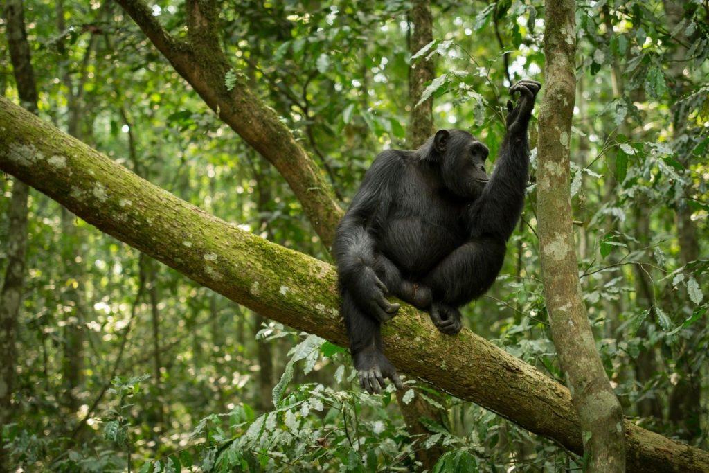 The alternative primate safari in Uganda without gorillas or gorilla trekking