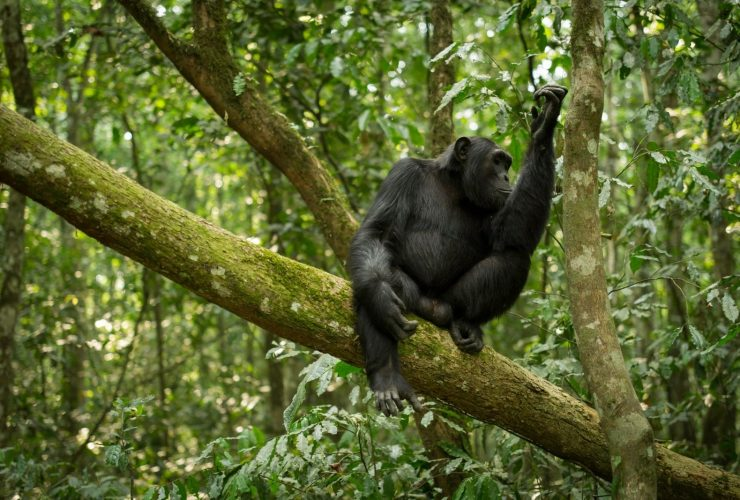 The alternative primate safari in Uganda without gorillas or gorilla trekking