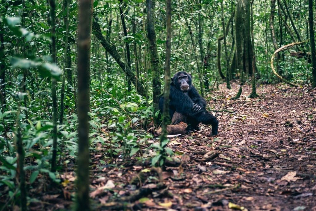 Chimpanzee trekking in Kyambura Gorge in Queen Elizabeth National Park