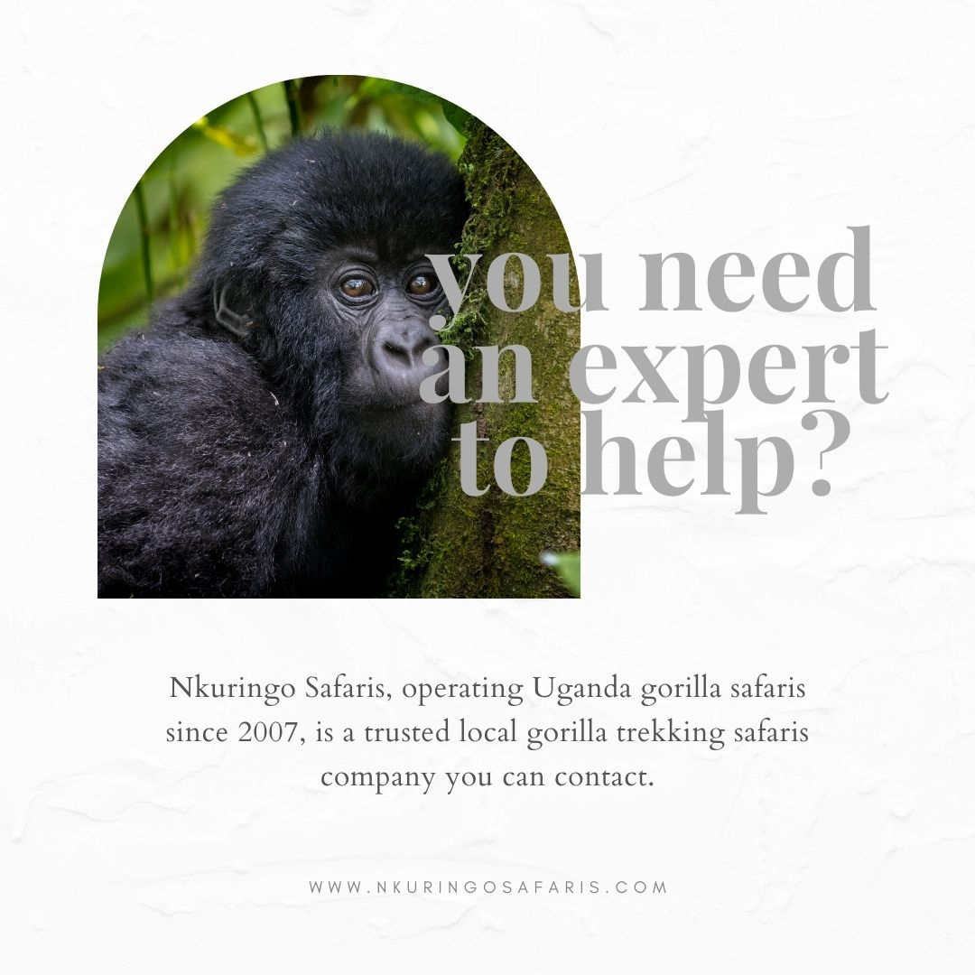 Nkuringo Safaris a trusted local gorilla trekking safari company in Uganda you can trust
